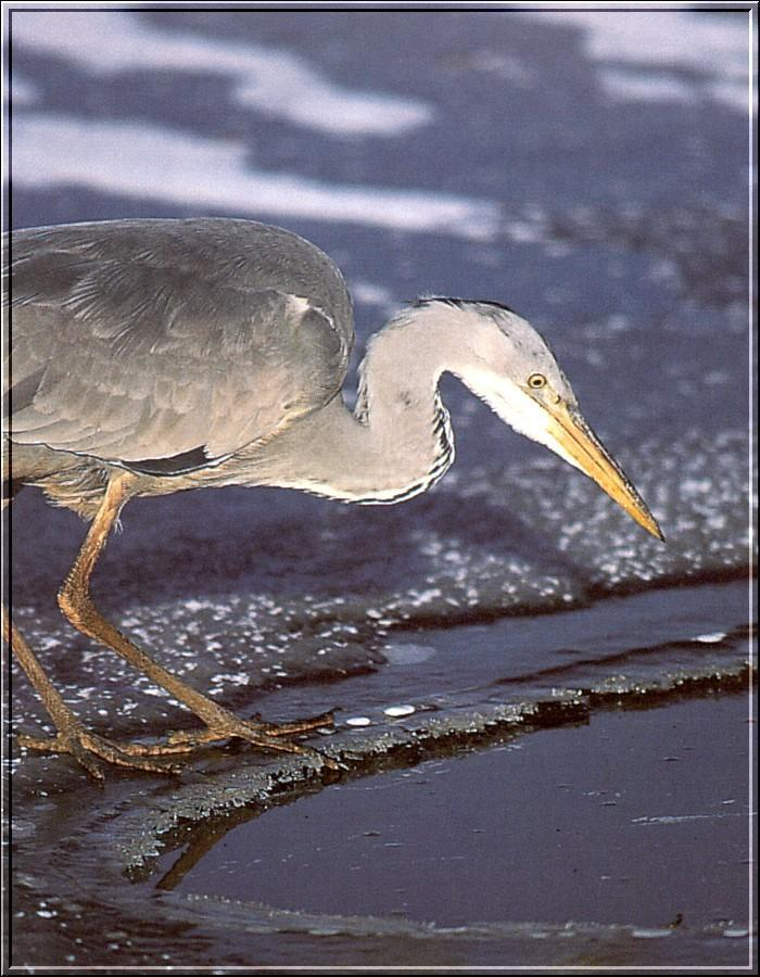 Grey Heron (Ardea cinerea) <!--왜가리(유럽)-->; Image ONLY