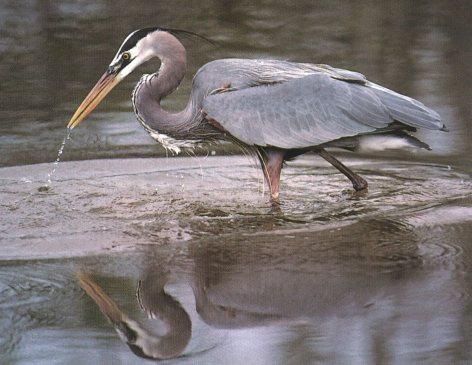 Great Blue Heron (Ardea herodias) <!--큰왜가리-->; Image ONLY