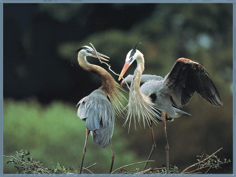 Great Blue Herons (Ardea herodias) <!--큰왜가리-->; Image ONLY