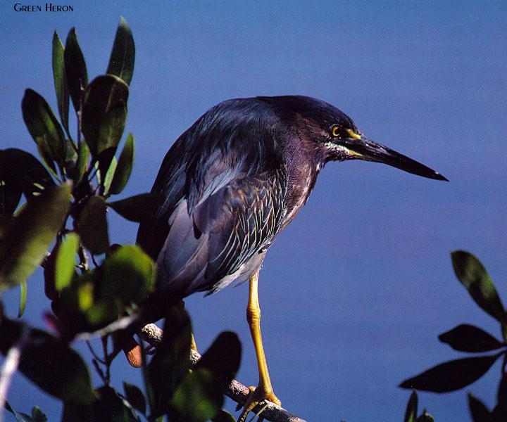 Green Heron (Butorides virescens) <!--아메리카검은댕기해오라기-->; Image ONLY