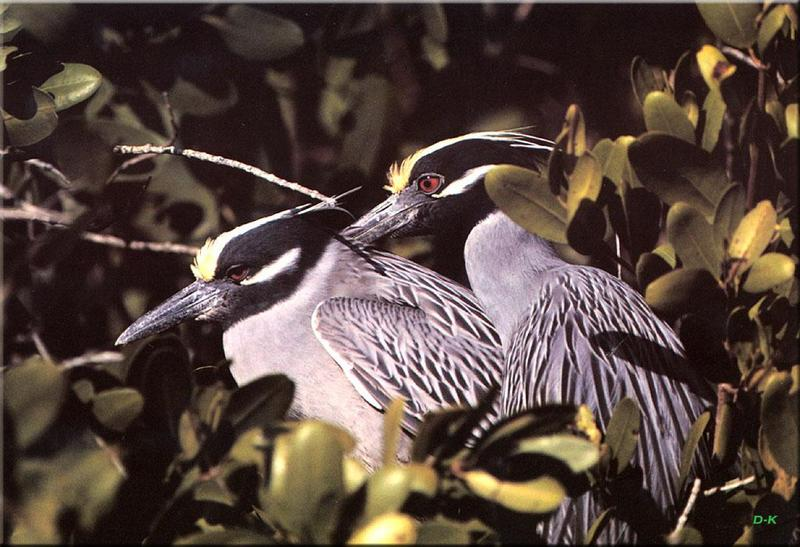 Yellow-crowned Night Heron (Nyctanassa violacea) <!--노란이마해오라기-->; DISPLAY FULL IMAGE.