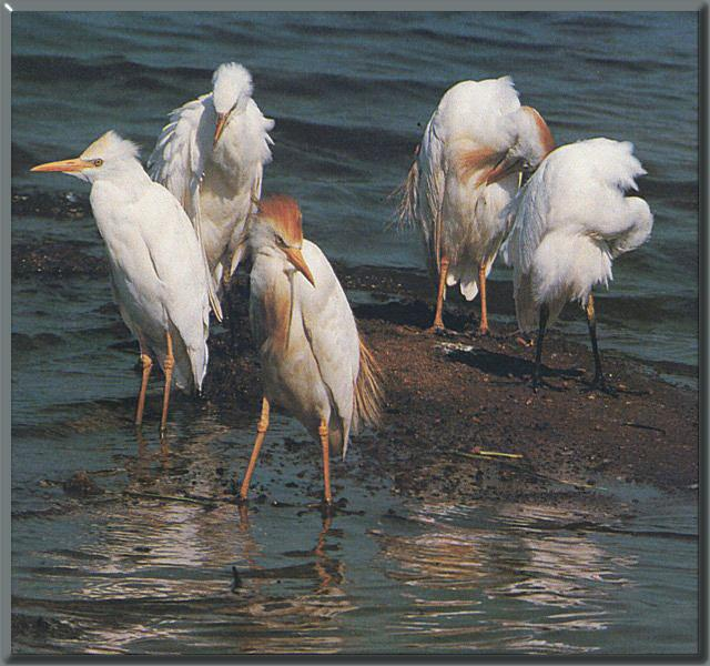 Cattle Egret flock (Bubulcus ibis) <!--황로(黃鷺)-->; Image ONLY