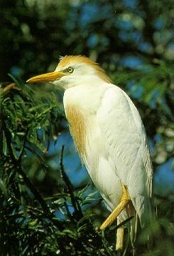 Cattle Egret (Bubulcus ibis) <!--황로(黃鷺)-->; Image ONLY
