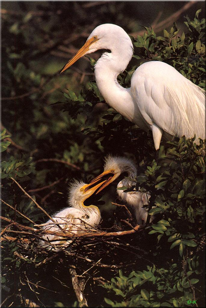 Great Egret & chicks (Egretta alba) <!--대백로(大白鷺)-->; Image ONLY