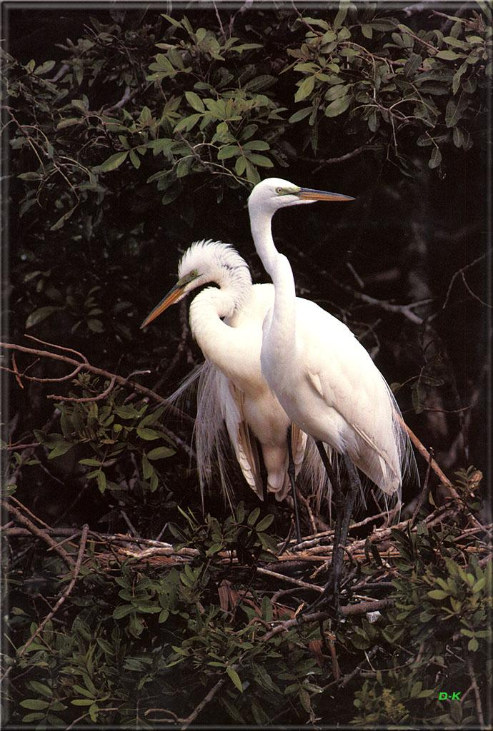 Great Egret pair (Egretta alba) <!--대백로(大白鷺)-->; Image ONLY