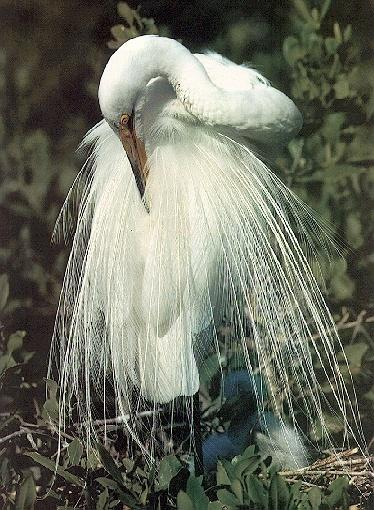 Great Egret (Egretta alba) <!--대백로(大白鷺)-->; Image ONLY