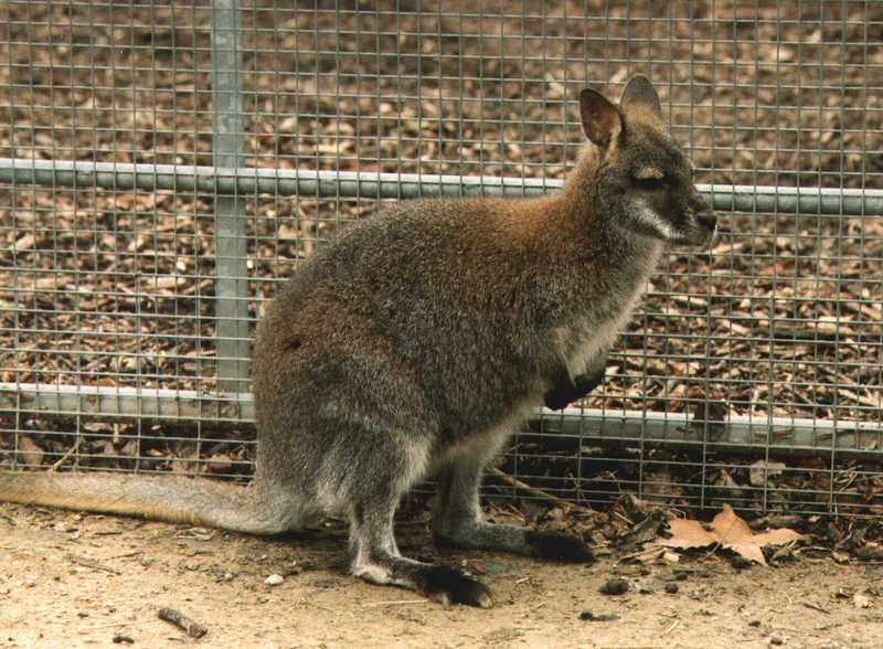 Red-necked Wallaby (Macropus rufogriseus) {!--붉은목왈라비-->; DISPLAY FULL IMAGE.