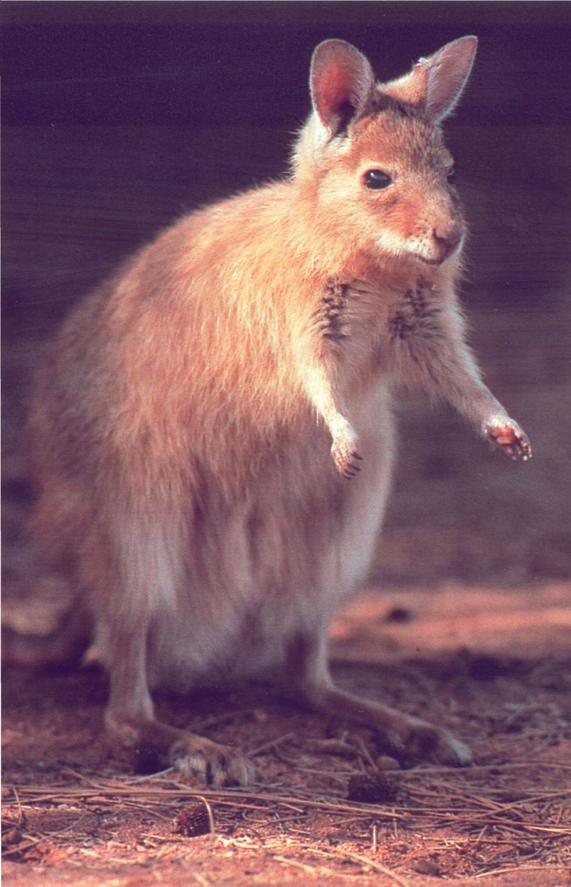 Rufous Hare Wallaby (Lagorchestes hirsutus) <!--붉은토끼왈라비-->; DISPLAY FULL IMAGE.