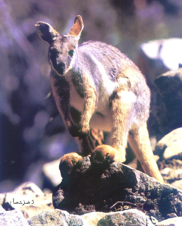 Rock Wallaby (Petrogale sp.) <!--바위왈라비-->; Image ONLY