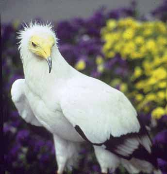 Egyptian Vulture (Neophron percnopterus) <!--이집트대머리수리-->; Image ONLY