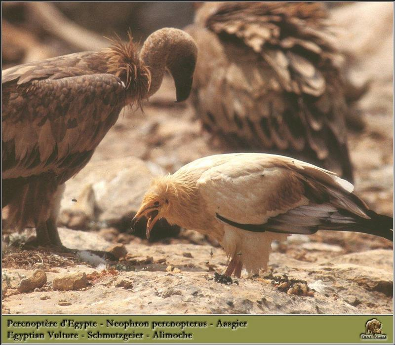 Egyptian Vulture (Neophron percnopterus) <!--이집트대머리수리-->; DISPLAY FULL IMAGE.