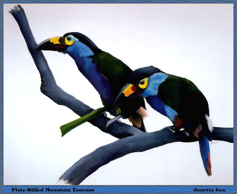 Plate-billed Mountain Toucan (Andigena laminirostris) <!--에콰도르산왕부리-->; Image ONLY