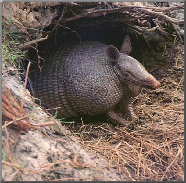 Giant Armadillo (Priodontes maximus) {!--왕아르마딜로-->; Image ONLY