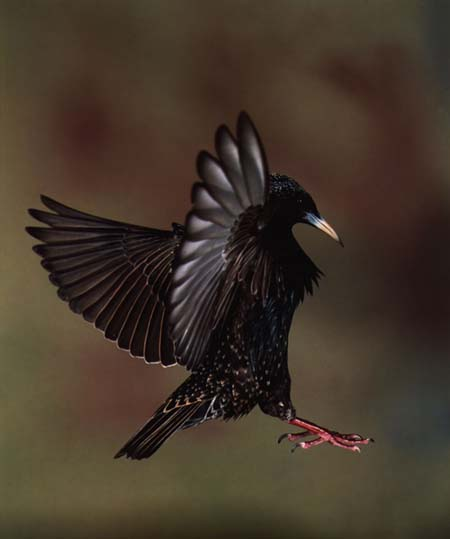 Common Starling (Sturnus vulgaris) <!--흰점찌르레기-->; Image ONLY