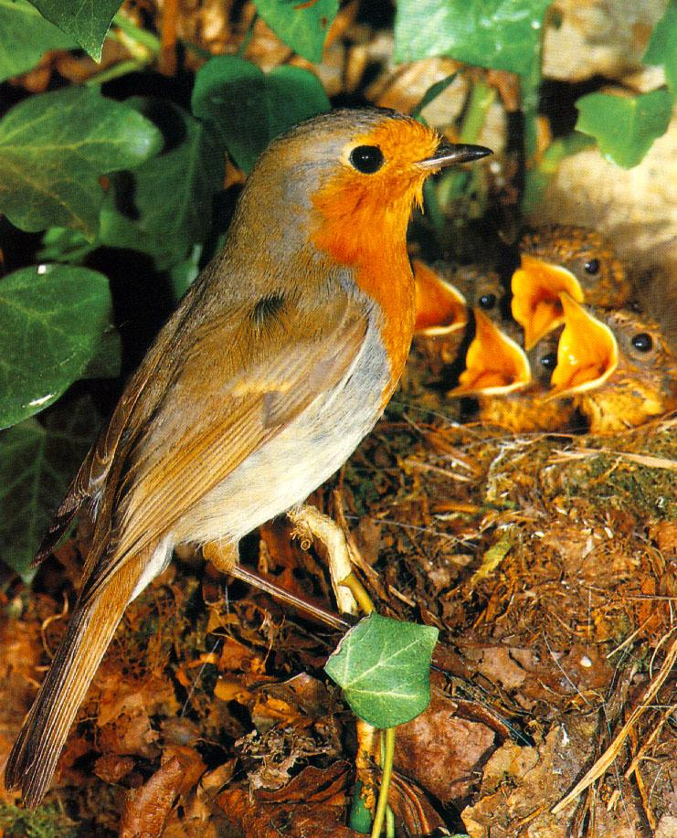 European Robin & chick on nest (Erithacus rubecula) <!--유럽붉은가슴울새(유럽울새)-->; Image ONLY
