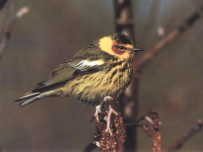 Cape May Warbler (Dendroica tigrina) <!--붉은뺨솔새-->; Image ONLY