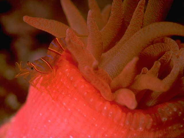 s095282-Red Sea Anemone with Shrimp.jpg