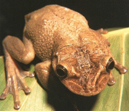 Casque-headed Treefrog (Triprion petasatus) <!--투구개구리-->; Image ONLY