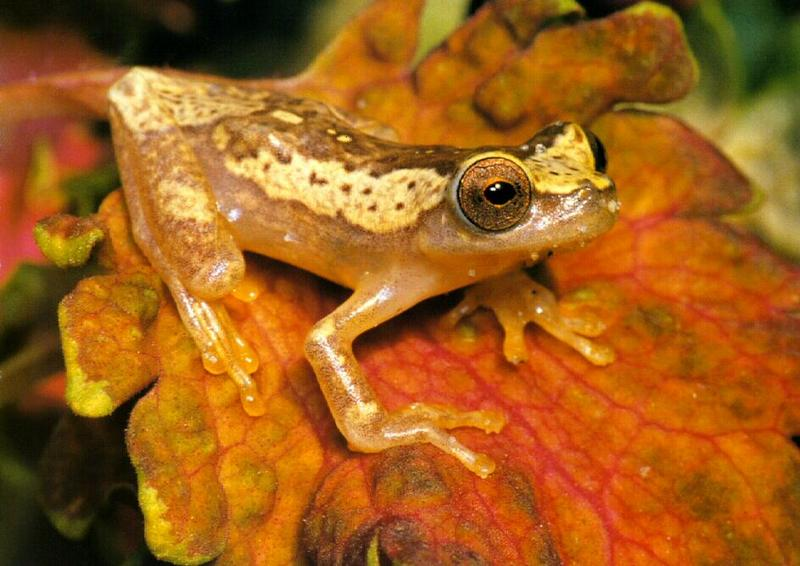 Hourglass Treefrog (Hyla ebraccata) <!--모래시계청개구리-->; DISPLAY FULL IMAGE.