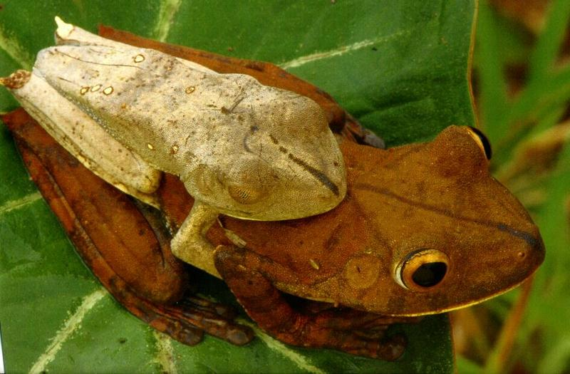 Map Treefrog (Hyla geographica) <!--지도청개구리-->; DISPLAY FULL IMAGE.