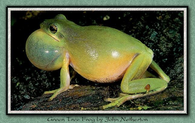Squirrel Treefrog (Hyla squirella) <!--다람쥐청개구리-->; Image ONLY