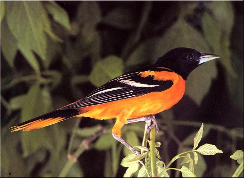 Baltimore Oriole (Icterus galbula) <!--아메리카꾀꼬리-->; DISPLAY FULL IMAGE.
