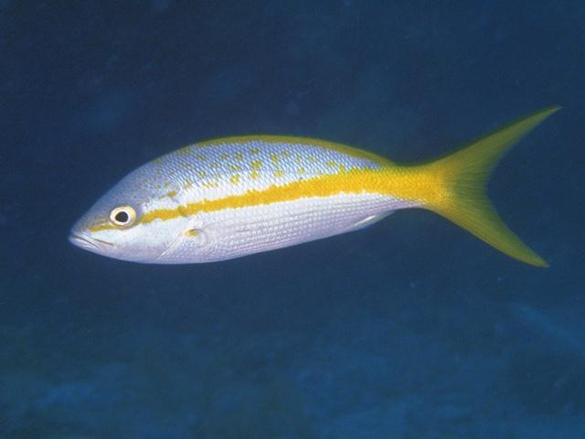 Yellowtail Snapper (Lutjanus argentiventris) <!--노랑꼬리퉁돔,황조어(黃條魚),紋眼笛???-->; Image ONLY