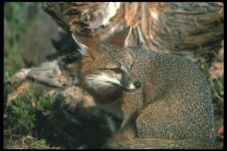 Gray Fox (Urocyon cinereoargenteus) <!--회색여우-->; Image ONLY