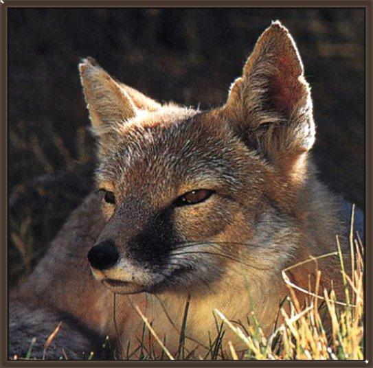Swift Fox (Vulpes velox)<!--벨록스여우-->; Image ONLY
