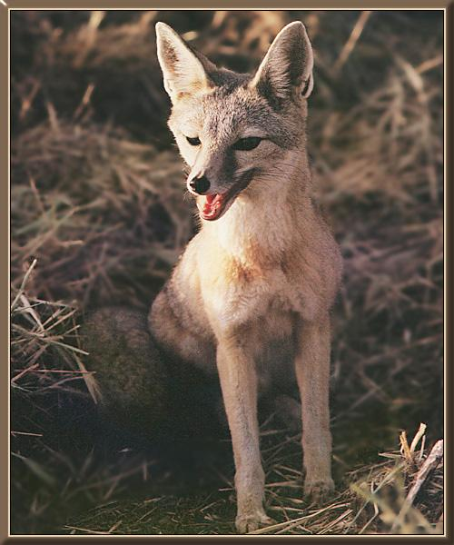 Swift Fox (Vulpes velox){!--벨록스여우-->; Image ONLY