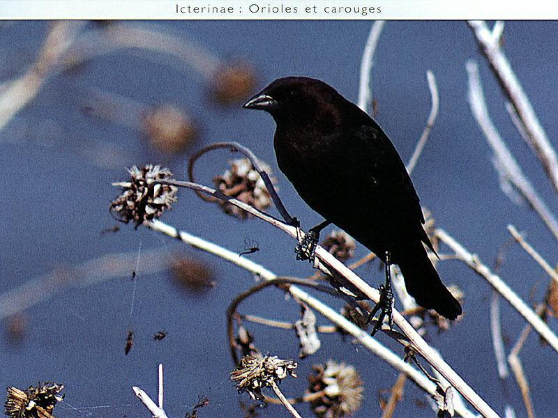Brown-headed Cowbird (Molothrus ater)<!--갈색머리흑조,향우조(香雨鳥),갈색머리탁란찌르레기-->; Image ONLY