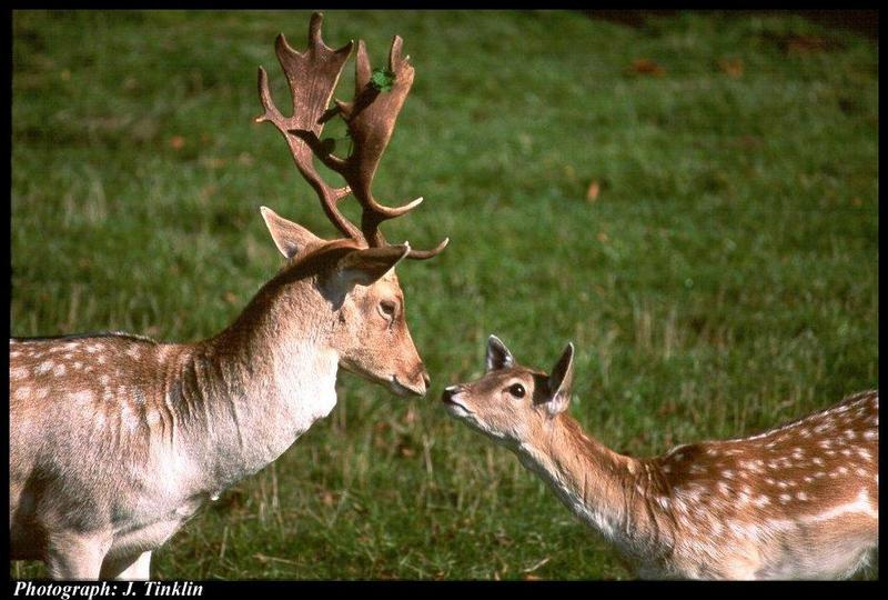 deer latino personals Deer = cerva the english to latin online dictionary check spelling and grammar english-latin translations over 20,000 latin translations of.