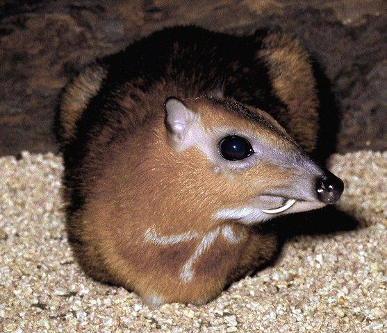 Greater Mouse-Deer (Tragulus napu) <!--큰애기사슴-->; Image ONLY