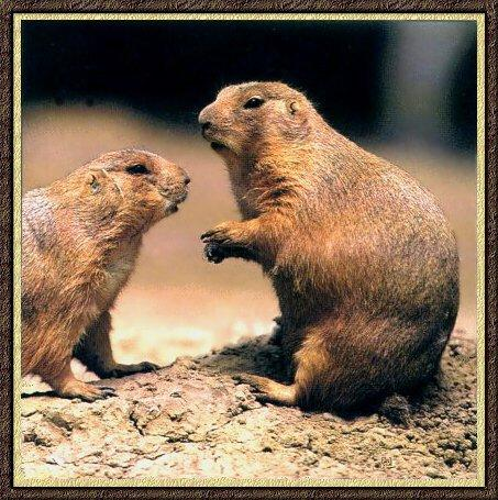Black-tailed Prairie Dog pair (Cynomys ludovicianus) <!--검은꼬리개쥐(프레리도그)-->; Image ONLY