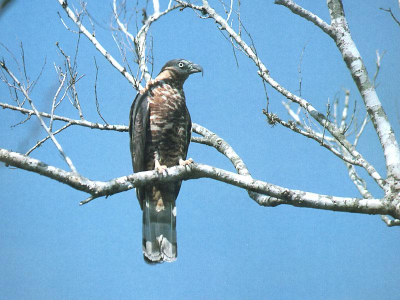 Hook-billed Kite (Chondrohierax uncinatus) <!--갈고리부리솔개-->; Image ONLY