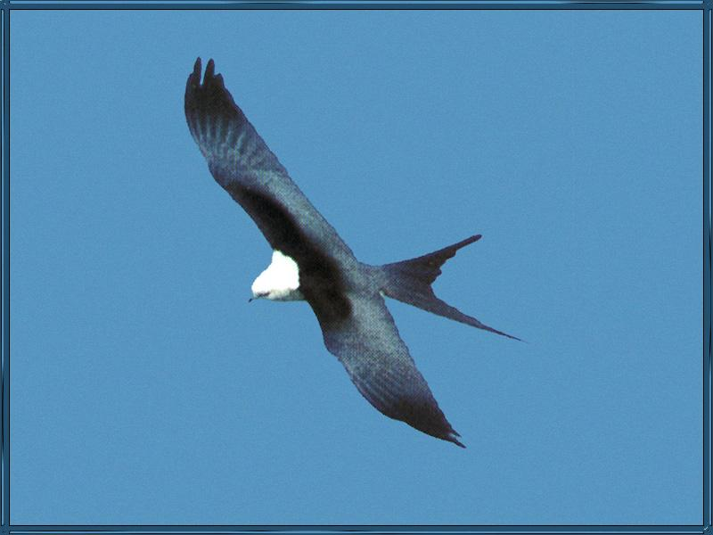 Swallow-tailed Kite (Elanoides forficatus) {!--제비꼬리솔개-->; DISPLAY FULL IMAGE.
