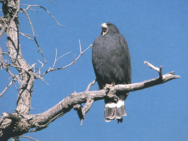 Zone-tailed Hawk (Buteo albonotatus) <!--띠꼬리말똥가리-->; Image ONLY