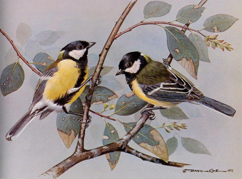 [Animal Art - Basil Ede] Great Tit (Parus major) <!--박새-->; DISPLAY FULL IMAGE.