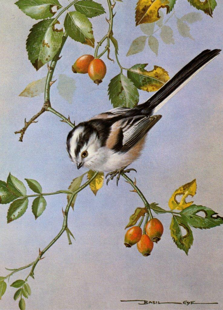 [Animal Art - Basil Ede] Long-tailed Tit (Aegithalos caudatus) <!--오목눈이-->; Image ONLY