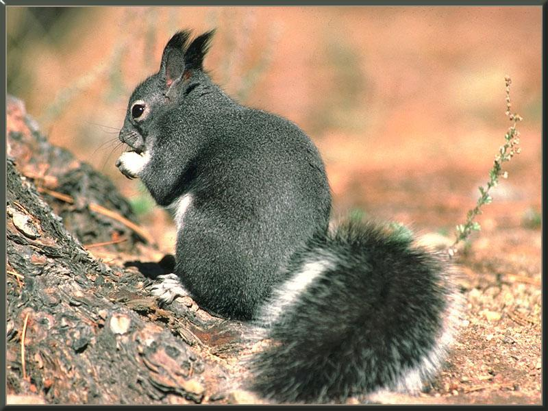 Abert's (Tassel-eared) Squirrel (Sciurus aberti) <!--털귀다람쥐-->; Image ONLY