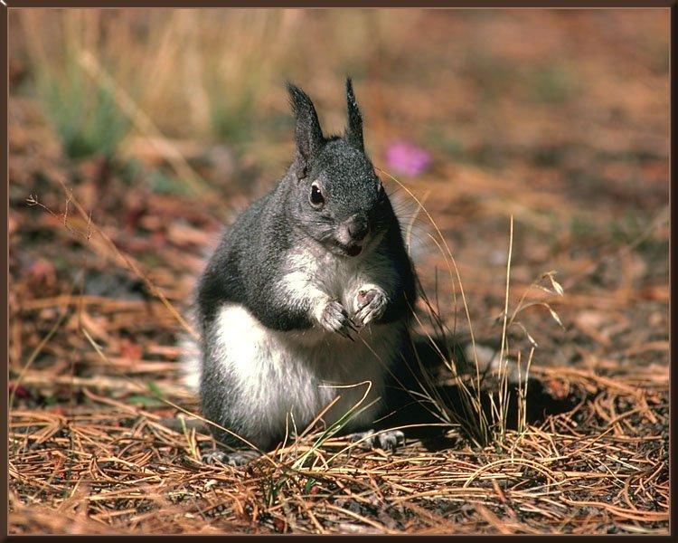 Abert's (Tassel-eared) Squirrel (Sciurus aberti) {!--털귀다람쥐 ...