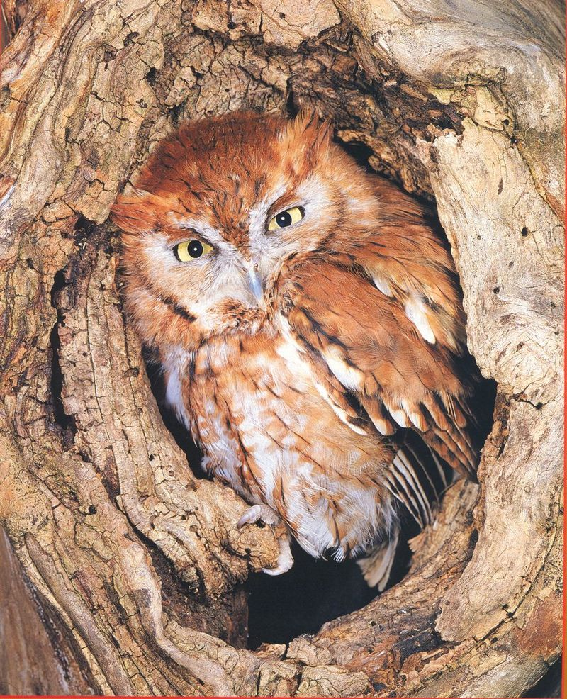 Eastern Screech-owl (Otus asio) <!--북아메리카귀신소쩍새-->; DISPLAY FULL IMAGE.