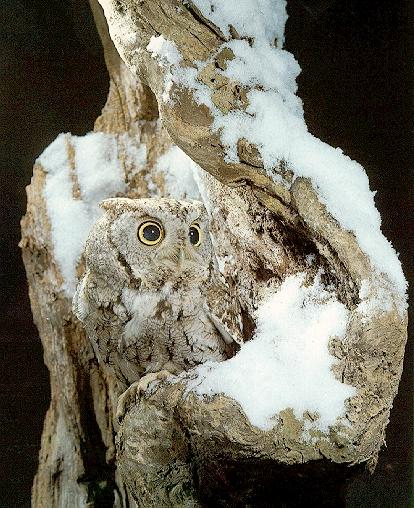 Whiskered Screech-owl (Otus trichopsis) <!--북아메리카수염소쩍새-->; Image ONLY
