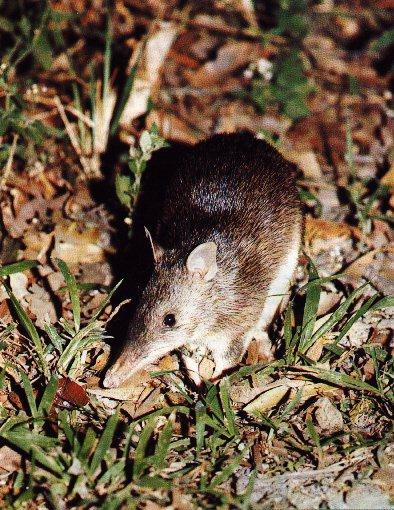 Long-nosed Bandicoot (Perameles nasuta) <!--긴코주머니오소리 (긴코밴디쿠트)-->; Image ONLY