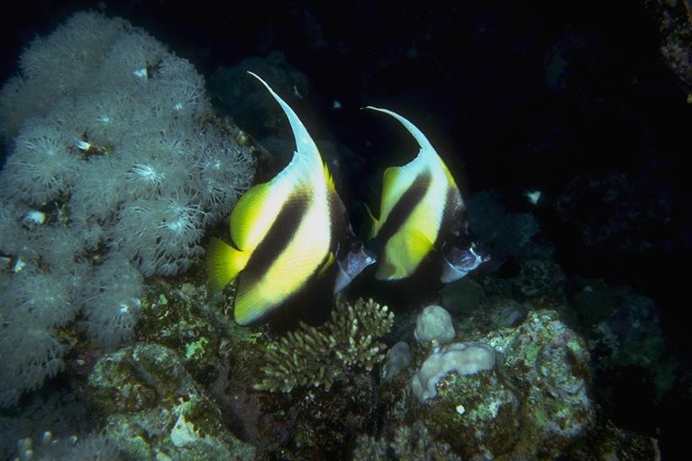 Long-fin Bannerfish (Heniochus acuminatus) <!--두동가리돔-->; Image ONLY