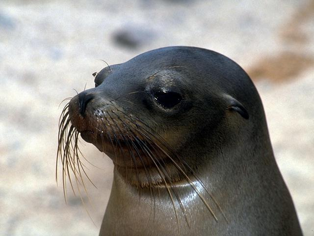 California Sea Lion (Zalophus californianus) <!--(캘리포니아)바다사자-->; Image ONLY