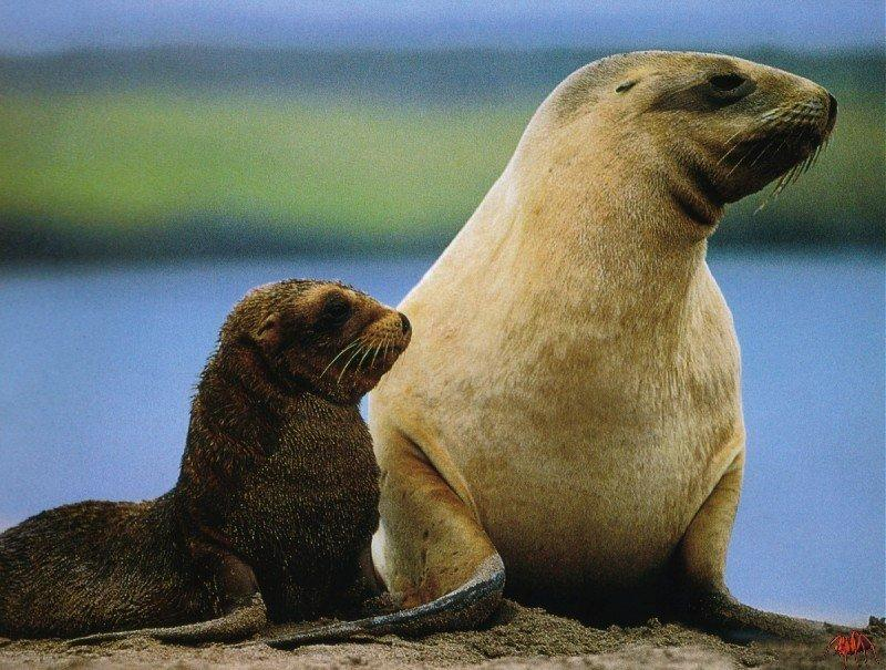 New Zealand Sea Lion with pup (Phocarctos hookeri) <!--뉴질랜드바다사자-->; Image ONLY