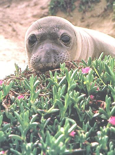 Elephant Seal (Mirounga sp.) {!--코끼리물범-->; Image ONLY