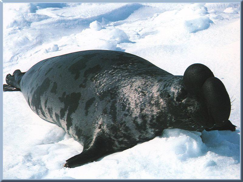 Hooded Seal (Cystophora cristata) <!--두건바다표범-->; Image ONLY