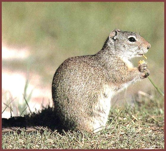 Wyoming Ground Squirrel (Spermophilus elegans) <!--와이오밍땅다람쥐-->; Image ONLY